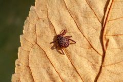 A dangerous parasite and infection carrier mite. A true ixodid mite blood sucking parasite carrying the acarid disease sits on a On a green leaf of grass in the stock photos