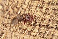 A dangerous parasite and infection carrier mite. A true ixodid mite blood sucking parasite carrying the acarid disease sits on a On a wood in the field on a hot stock photos