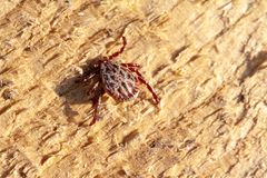 A dangerous parasite and infection carrier mite. A true ixodid mite blood sucking parasite carrying the acarid disease sits on a On a wood in the field on a hot royalty free stock image