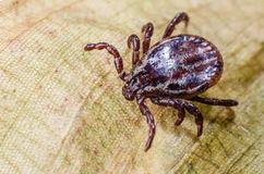 Dangerous parasite mite crawling on a dry leaf stock image