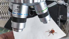 Research of deer tick under a microscope in a laboratory. Ixodes ricinus. Dangerous parasitic insect. Carrier of infections as encephalitis and Lyme disease stock photography