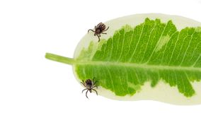 Two castor bean ticks on a green leaf. Ixodes ricinus royalty free stock images