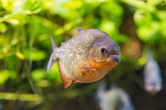 Dangerous piranha fish in water closeup stock photo