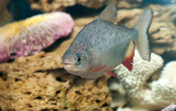 A dangerous piranha swimming in shallow water Stock Images