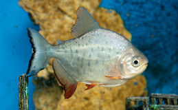 A dangerous piranha swimming in shallow water Stock Image