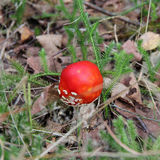 Dangerous poison forest mushroom Royalty Free Stock Images