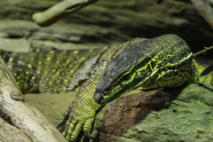 Dangerous poisonous big lizard Komodo Royalty Free Stock Photo