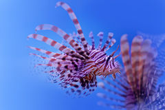 Dangerous poisonous fish swimming blue background. Red lionfish Pterois miles swimming in ocean. soft focus, copy space. Stock Photo