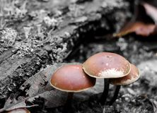 Mushrooms toadstools. bright small poisonous mushrooms toadstool group psilocybin. Dangerous poisonous mushrooms Mushrooms toadstools. bright small poisonous stock images