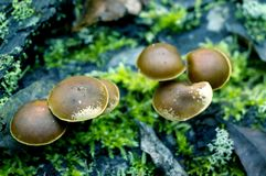 Mushrooms toadstools. bright small poisonous mushrooms toadstool group psilocybin. Dangerous poisonous mushrooms Mushrooms toadstools. bright small poisonous royalty free stock photography
