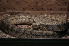Dangerous poisonous snake in the terrarium  - Carpet viper Stock Images