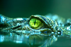 Dangerous predator. Eye of a Saltwater-crocodile Stock Images