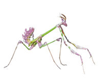 Dangerous predator mantis insect catches prey Stock Image
