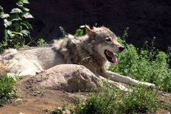 A dangerous predator wolf. Wolf basking in the sun at the Moscow zoo Stock Photos