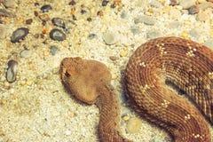 Dangerous rattle snake. Stock Image