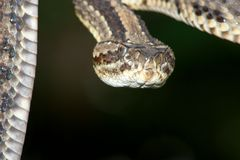 Dangerous Rattler Stock Images