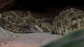 Dangerous rattlesnake on the sand from Arizona. Close up