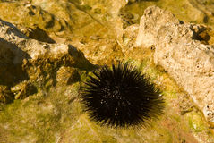 Dangerous sea urchins in the wild Stock Photo