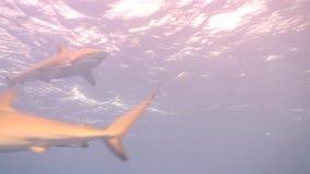 Dangerous Shark Underwater Video Cuba Caribbean Sea stock footage