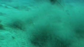 Dangerous Shark Underwater Video Cuba Caribbean Sea stock video footage