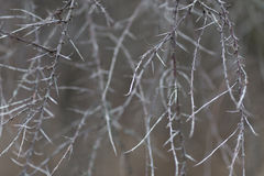 Dangerous, sharp thorns cover a bush at sunset Stock Photography