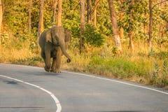Wild elephant on road. Dangerous single wild elephant on road royalty free stock image