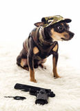 Dangerous small army dog. Adorable Pincher dog army dressed isolated on white background Stock Images