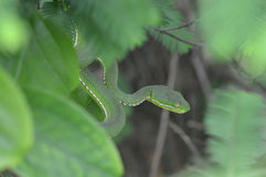 A dangerous snake. The snake is preparing to attack, it has a triangular head.It is a poisonous snake Stock Images