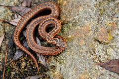 Dangerous snake viper on rock, reptile Royalty Free Stock Photography