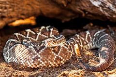 Dangerous South American Rattlesnake By Rock Royalty Free Stock Image