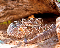 Dangerous South American Rattlesnake On Sand. Dangerous South American rattlesnake (Crotalus durissus) on sand Stock Photography