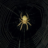 Dangerous spider Royalty Free Stock Photography
