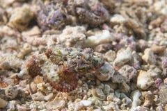 Dangerous Stone Fish portrait Stock Images