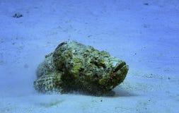 Dangerous stone fish Stock Photography