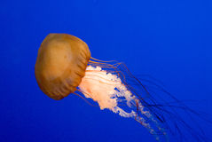 Dangerous swimmer. Jellyfish in blue water royalty free stock photos