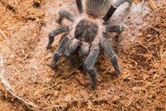 Dangerous tarantula spider in a special terrarium. Royalty Free Stock Image