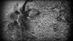 Dangerous tarantula spider in a special terrarium. stock footage