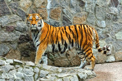 Dangerous tiger Stock Image