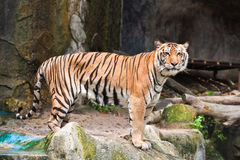 Dangerous Tiger Royalty Free Stock Photography