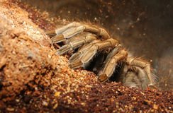 Dangerous tropical monster spider. Royalty Free Stock Images