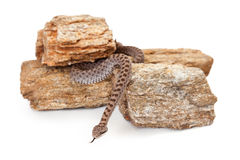 Dangerous Twin-Spotted Rattlesnake. Crotalus pricei, also known as twin-spotted rattlesnake, a venomous snake found mainly in southeastern Arizona and Northern Royalty Free Stock Image