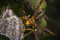 Dangerous wasp building a nest Royalty Free Stock Image