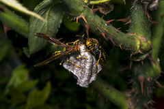 Dangerous wasps building a nest Royalty Free Stock Photos