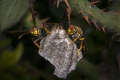 Dangerous wasps building a nest Stock Image