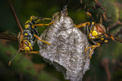 Dangerous wasps building a nest Stock Photos