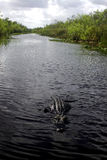 Dangerous Waters. Aligator swimming in the florida everglades Royalty Free Stock Images