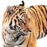 Dangerous wild animal striped tiger. On white background stock photos
