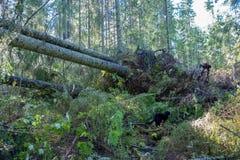 Dangerus windthrow σε ένα σουηδικό δασικό τον Αύγουστο του 2018 Στοκ Εικόνες