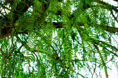 Dangling fronds of staghorn fern tree with tender green leaves, clear sky, soft daylight Royalty Free Stock Photos