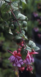 Dangling Fuchsia Plant. Red and Purple Fuchsia Flower during summertime stock photography